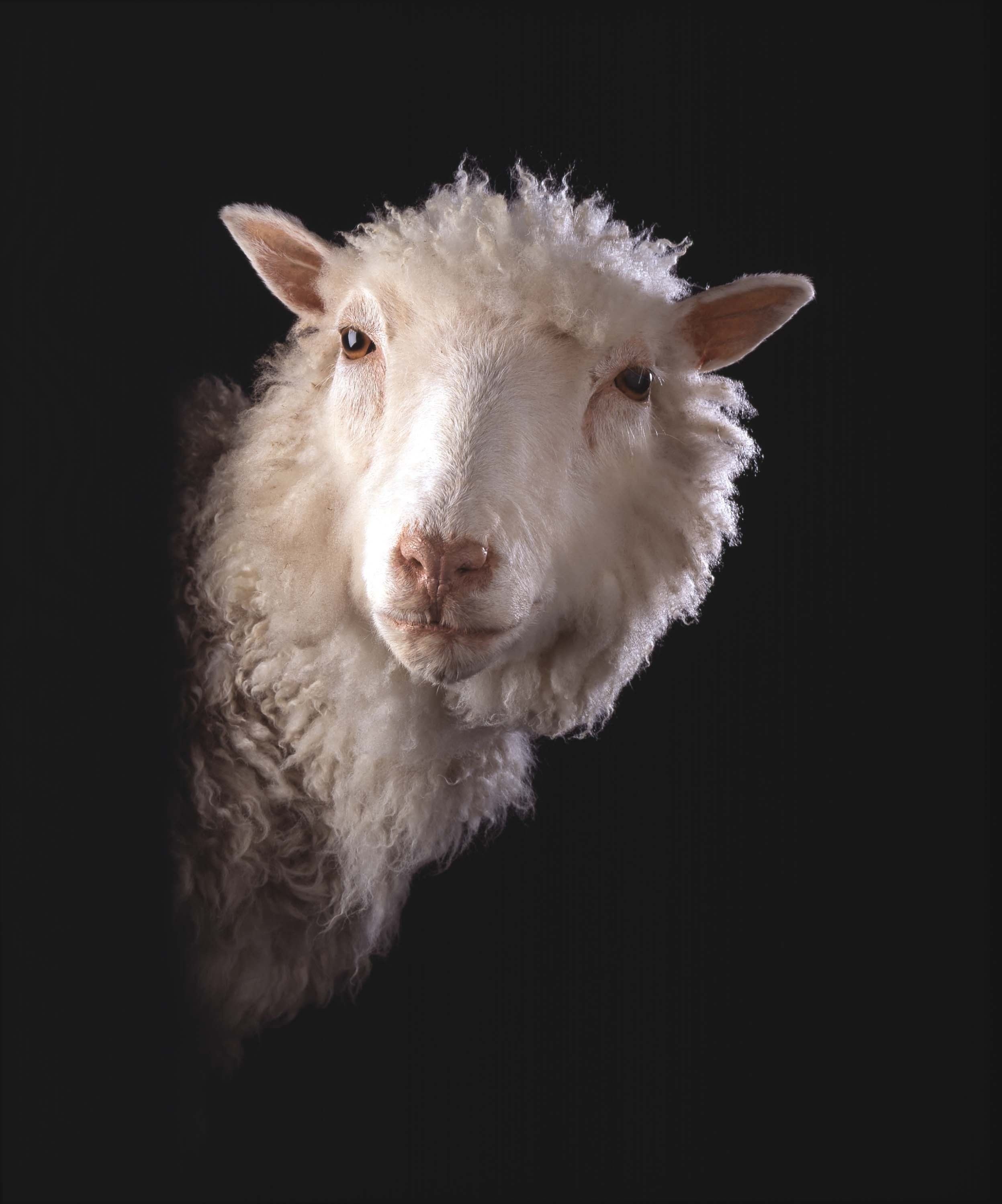 dolly the sheep Dolly the sheep made biotech history in 1996 when she became the first animal cloned from adult somatic cells she lived to the age of seven, which is young for sheep.