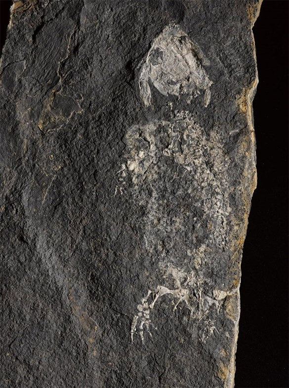 Fossil of Balanerpeton woodi, found in East Kirkton Quarry