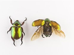 two beetles from the Entomology collection