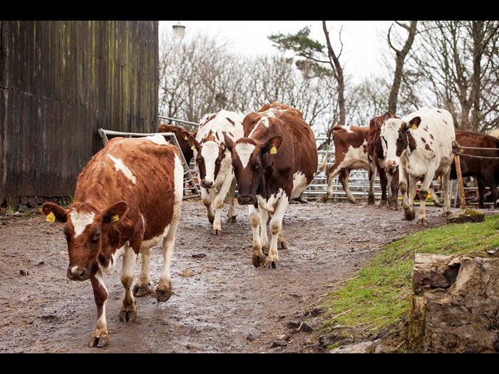 Meet the Ayshire herd at Wester Kittochside Farm, National Museum of Rural Life © Ruth Armstrong Photography
