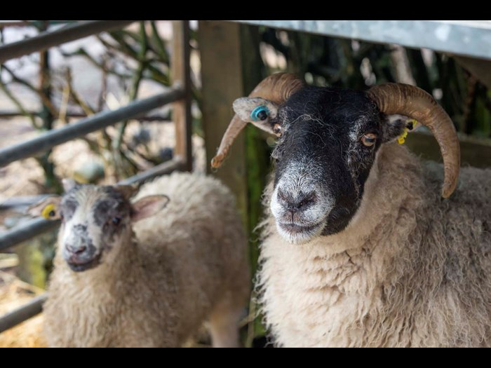 See the Blackface sheep at Wester Kittochside Farm, National Museum of Rural Life.