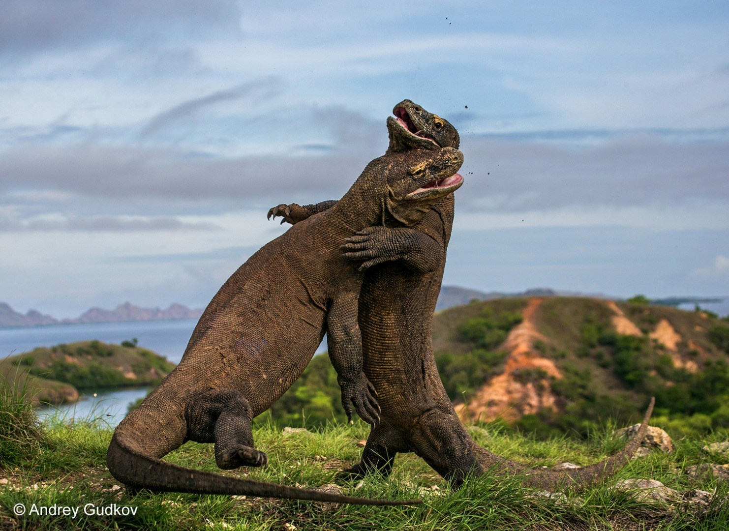 Wildlife Photographer of the Year 2015. Amphibians and Reptiles, Finalist © Andrey Gudkov (Russia) Komodo Judo.