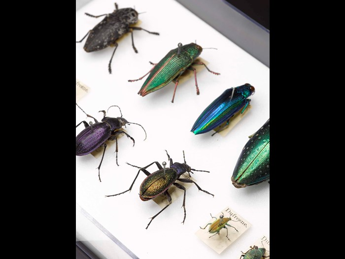 Beetles from the Dufresne collection, once owned by the French Empress Josephine.