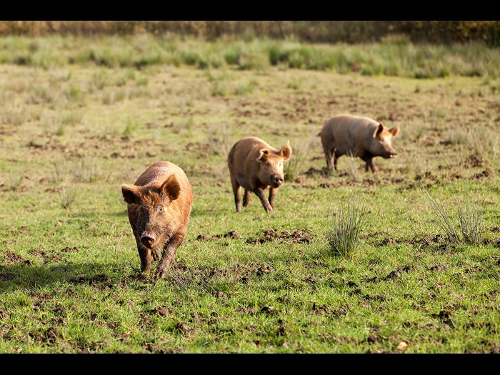 Catch a glimpse of the Tamworth pigs in the fields this season © Ruth Armstrong Photography