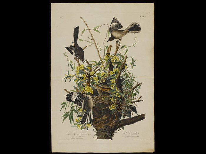 Mocking bird, Birds of America Plates, by John James Audubon.
