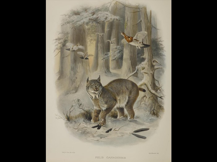 Felis Canadensis from A monograph of the Felidae or family of the cats, by Daniel Giraud Elliot, 1883.