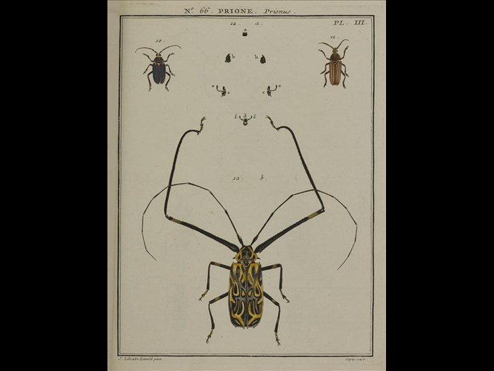Prione, Prionus  from Entomologie, ou Histoire naturelle des insectes, by A.G. Olivier,1808.