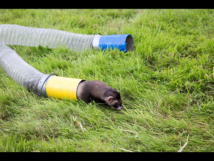 Ferret racing at the Country Fair in 2016 © Ruth Armstrong Photography