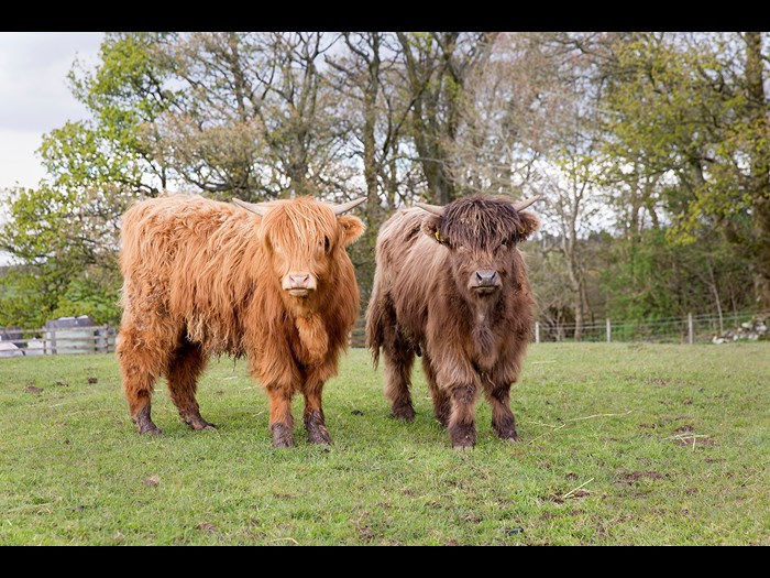 Airgead II and Ceo V our Highland calves are now out in the field  © Ruth Armstrong Photography