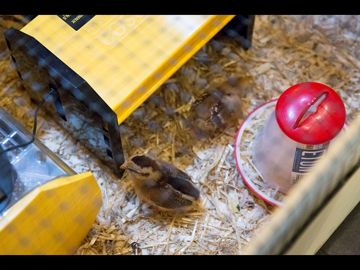 We incubated eggs and hatched them recently and expect more chicks in the summer © Ruth Armstrong Photography