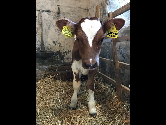 Our heifer calf named Carrie's Triclo born on 6 May 2017 on the Wester Kittochside Farm.