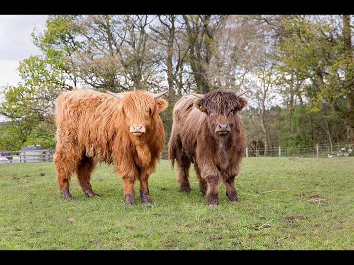 Day 2: Two highland coos Airgead II and Ceo V © Ruth Armstrong Photography