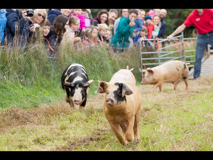 Day 3: Three pigs racing at the Country Fair © Ruth Armstrong Photography