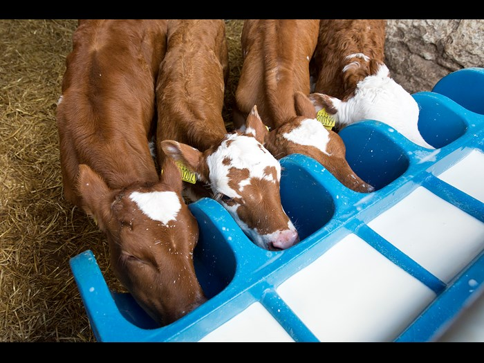 Day 4: Four hungry calves feeding © Ruth Armstrong Photography