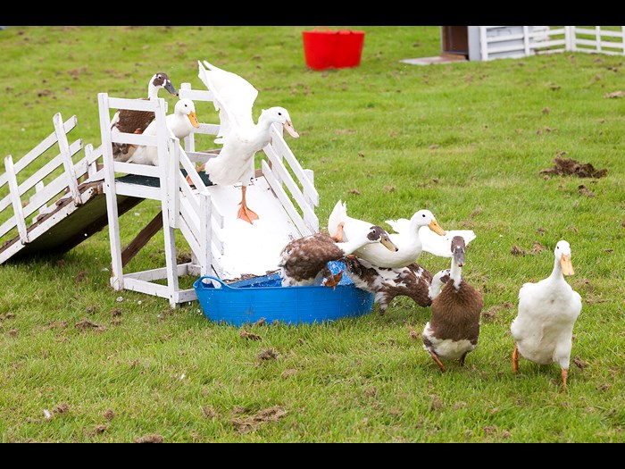 Day 8: Eight ducks running at the Country Fair © Ruth Armstrong Photography