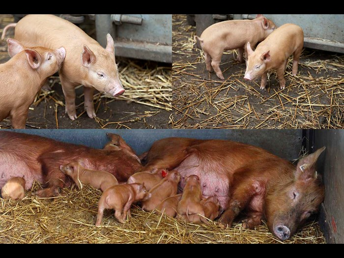Day 12: Twelve Tamworth piglets squeaking © Ruth Armstrong Photography