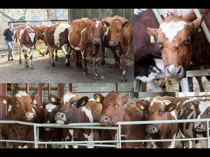Day 11 : Eleven Ayrshire cows mooing © Ruth Armstrong Photography