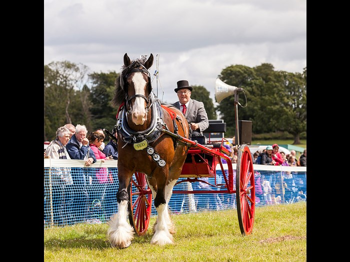 Watch majestic Clydesdales compete in a range of events © Ruth Armstrong Photography