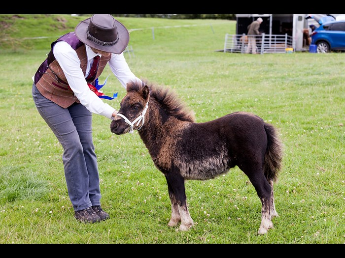 Watch tiny Shetland ponies compete in a range of events