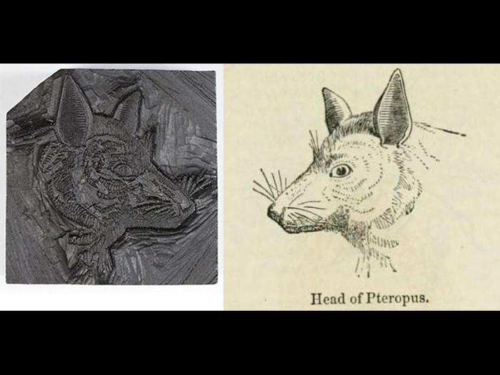 Head of Pteropus (bat), from First Edition, volume 1, page 741, 1860.