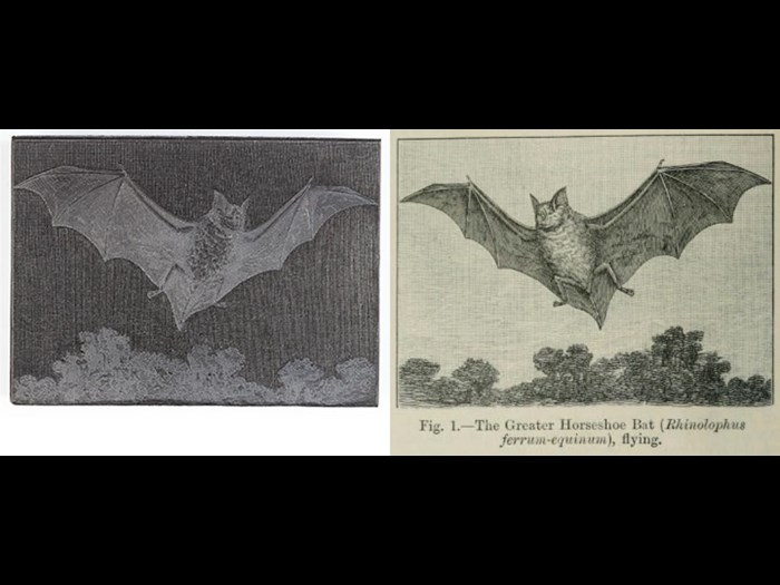 Greater horseshoe bat, from Second Edition, volume 1, page 788, 1888.