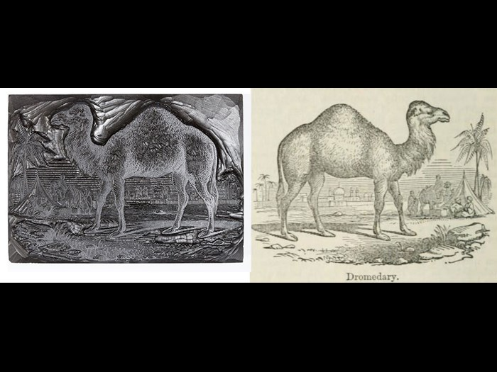 Dromedary, from First Edition, volume 3, page 674, 1862.