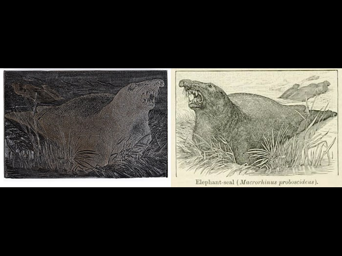 Elephant-seal, from Second Edition, volume 4, page 292, 1889.