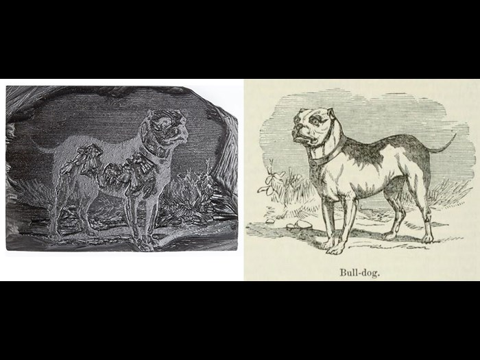 Bull-dog, from First Edition, volume 2, page 420, 1861.