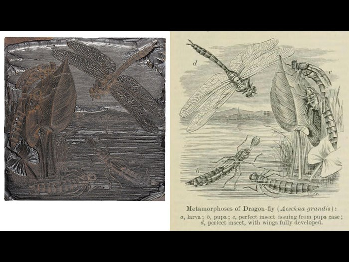 Metamorphoses of Dragon-fly, from Second Edition, volume 4, page 77, 1889.