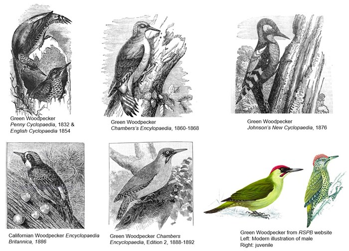 Changing illustration styles of woodpeckers