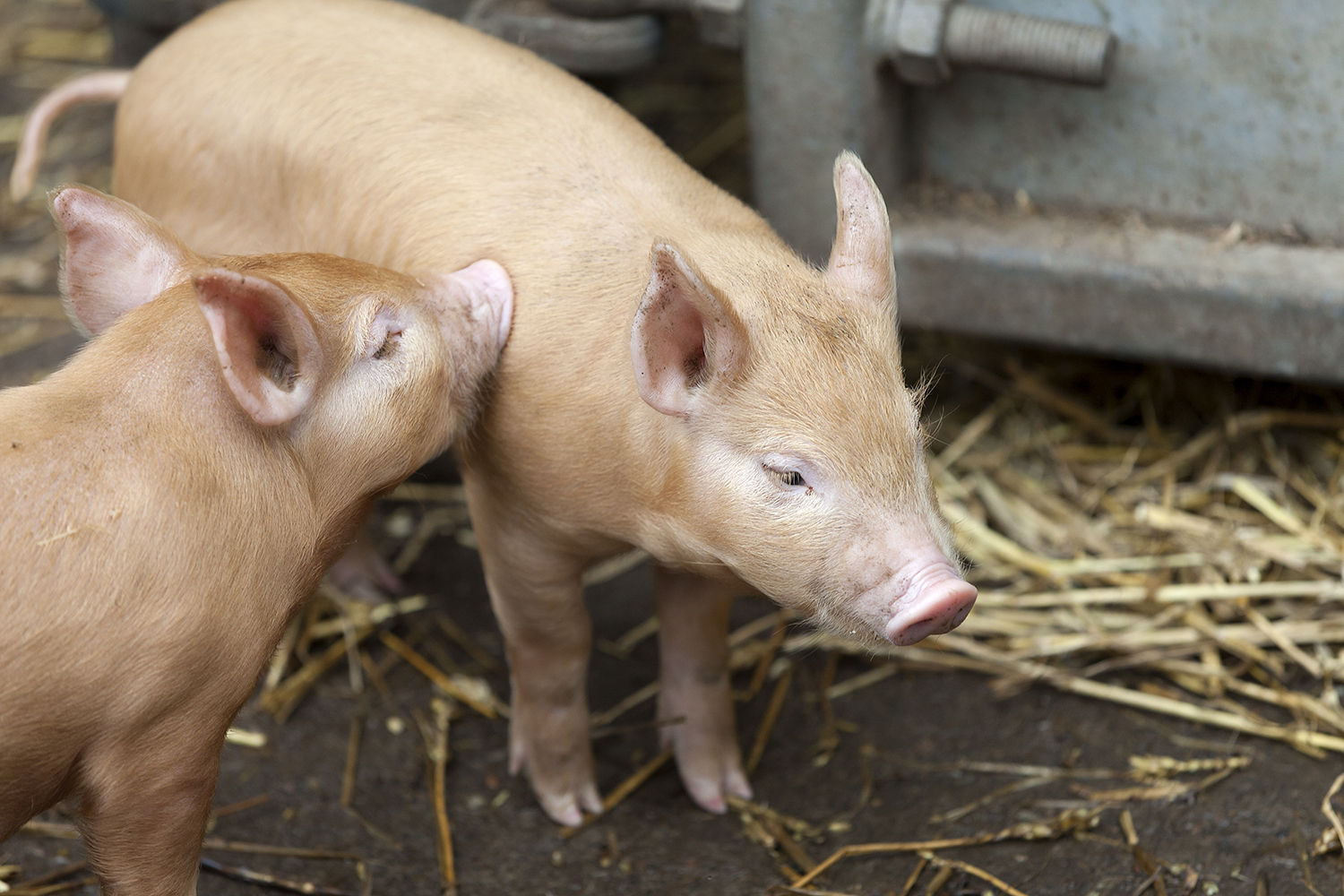 Two Tamworth piglets at the Wester Kittochside Farm © Ruth Armstrong Photography