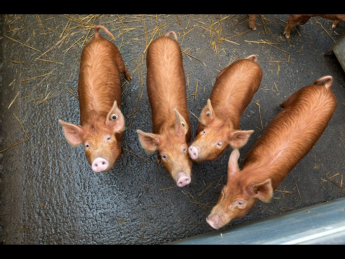 Four Tamworth piglets at the Wester Kittochside Farm © Ruth Armstrong Photography