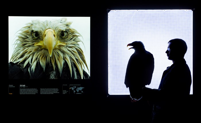 Pilgrim, the Bald Eagle, and his handler visit the Wildlife Photographer of the Year exhibition, as part of a special viewing for the media. Photo by Neil Hanna.