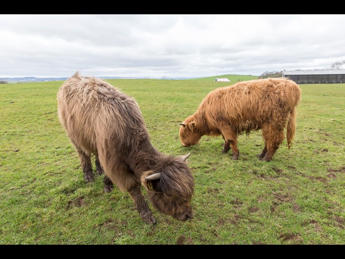 Ceo V (left) and Airgead II (right) on the Wester Kittochside farm © Ruth Armstrong Photography
