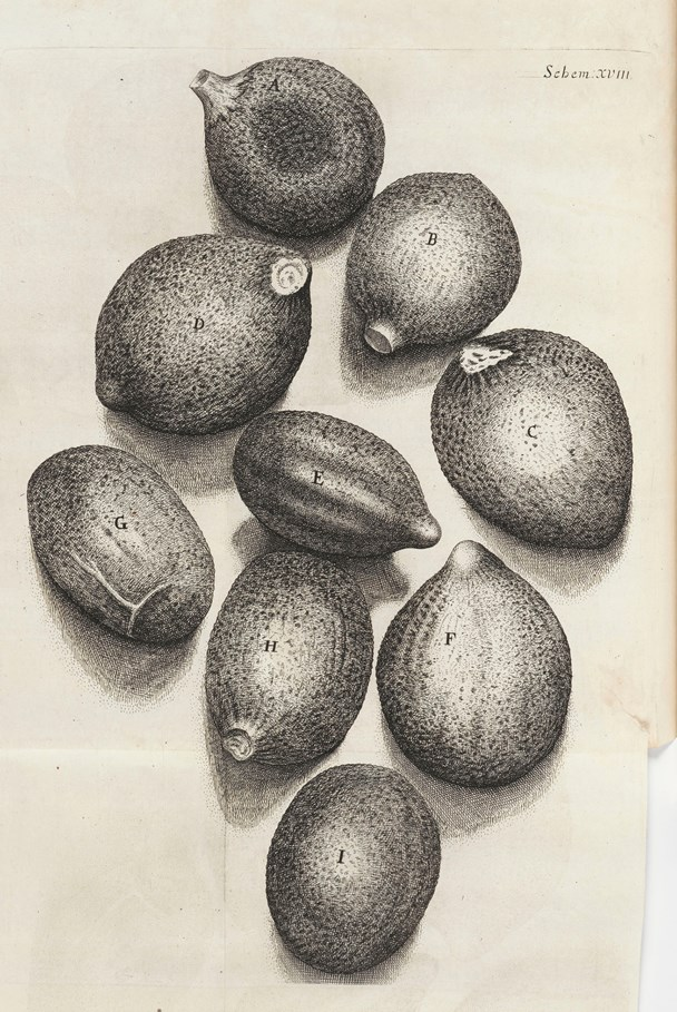 Plate XVIII 'Of the Seeds of Tyme' from Micrographia by Robert Hooke (1665)