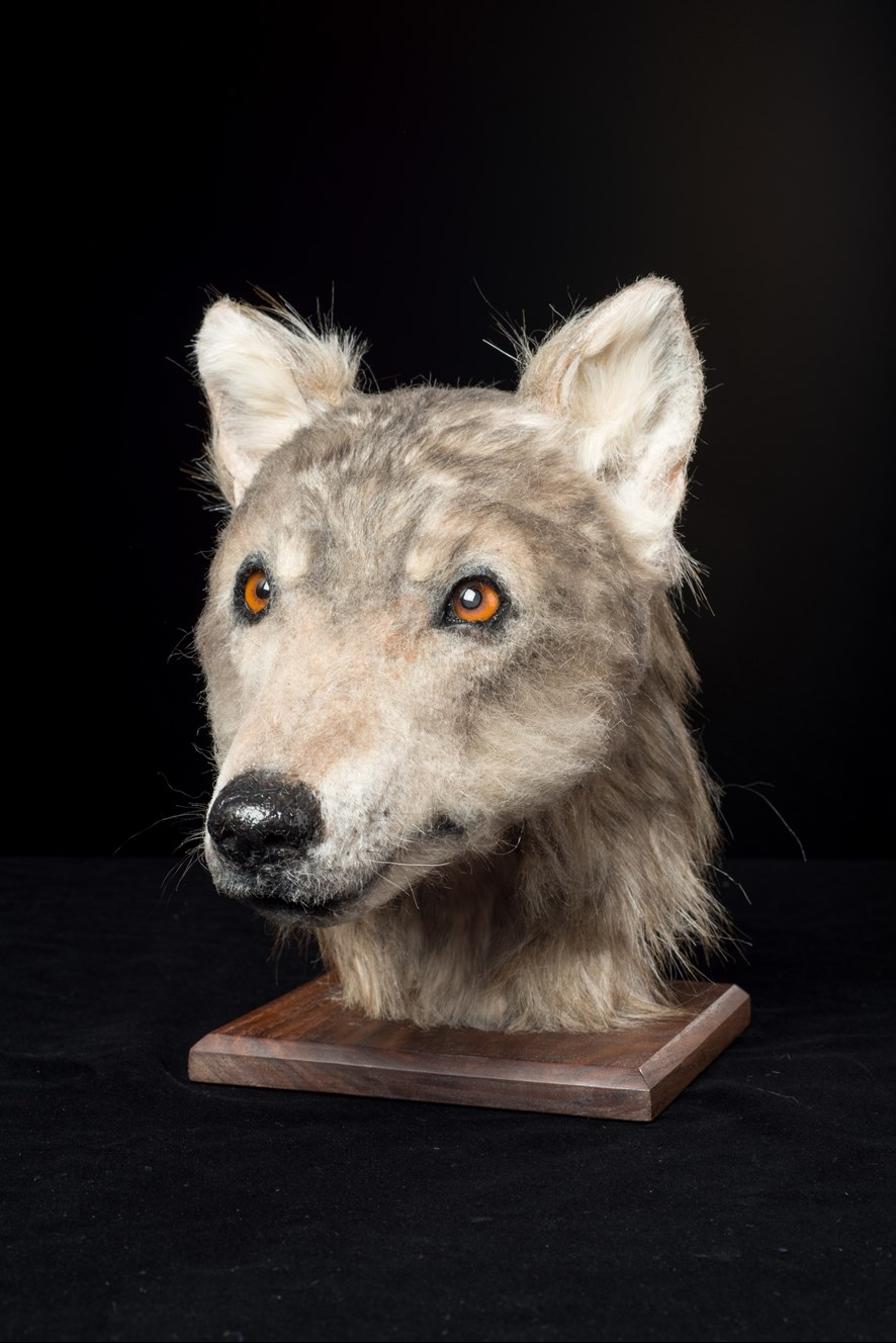 The completed reconstruction. Although it would have been a domesticated dog, its features are reminiscent of the European grey wolf.