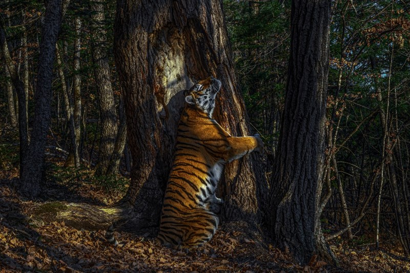 A Siberian tiger scent-marking a fir tree