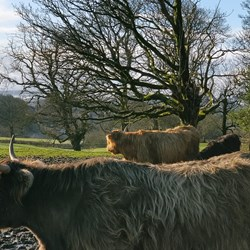 Photo of two Highland cows in the foreground and farm fields in the background.