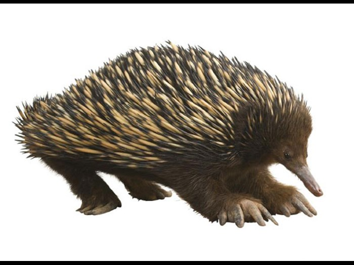 Echidna in the Animal Senses Gallery