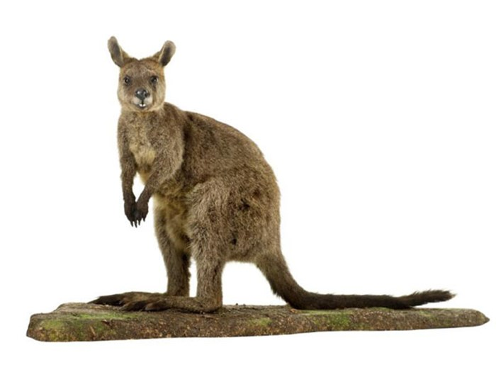 Swamp Wallaby in the Survival Gallery