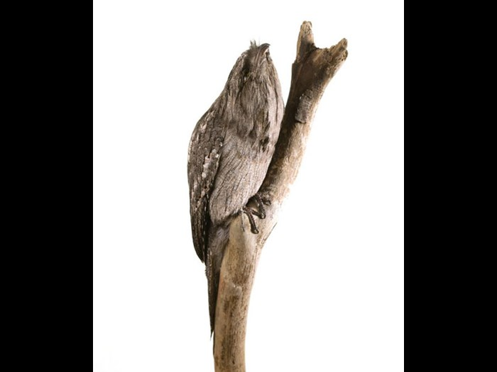 Tawny Frogmouth in the Animal Senses Gallery