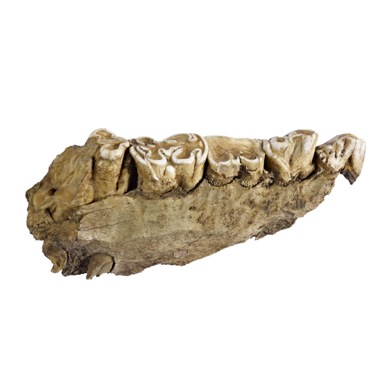 Hippopotamus amphibius, hippopotamus, part of mandible, collected by David Livingstone, Southern Africa.