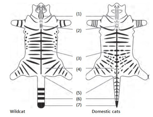 How to identify a Scottish wildcat from its markings