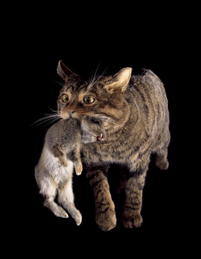 African Big Cat Breeds