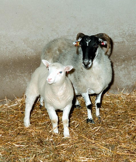 Dolly as a lamb with her surrogate mother. © Roslin Institute.