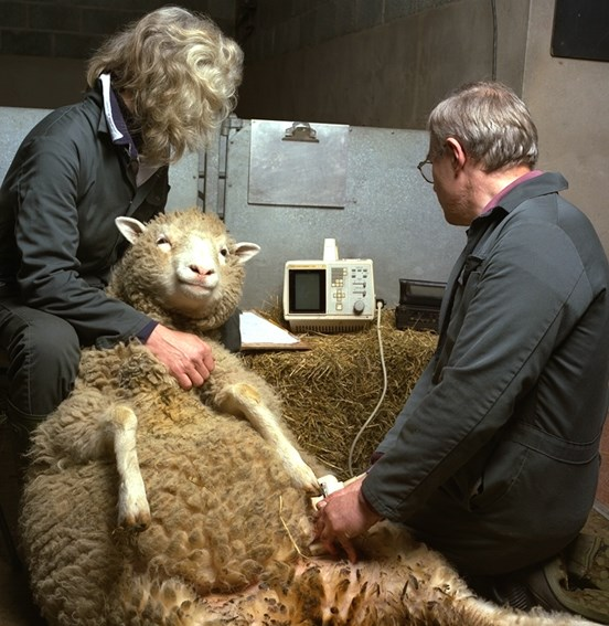 Dolly the sheep being scanned. © Roslin Institute.