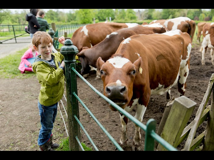 Get up close with the Ayrshire on the farm.