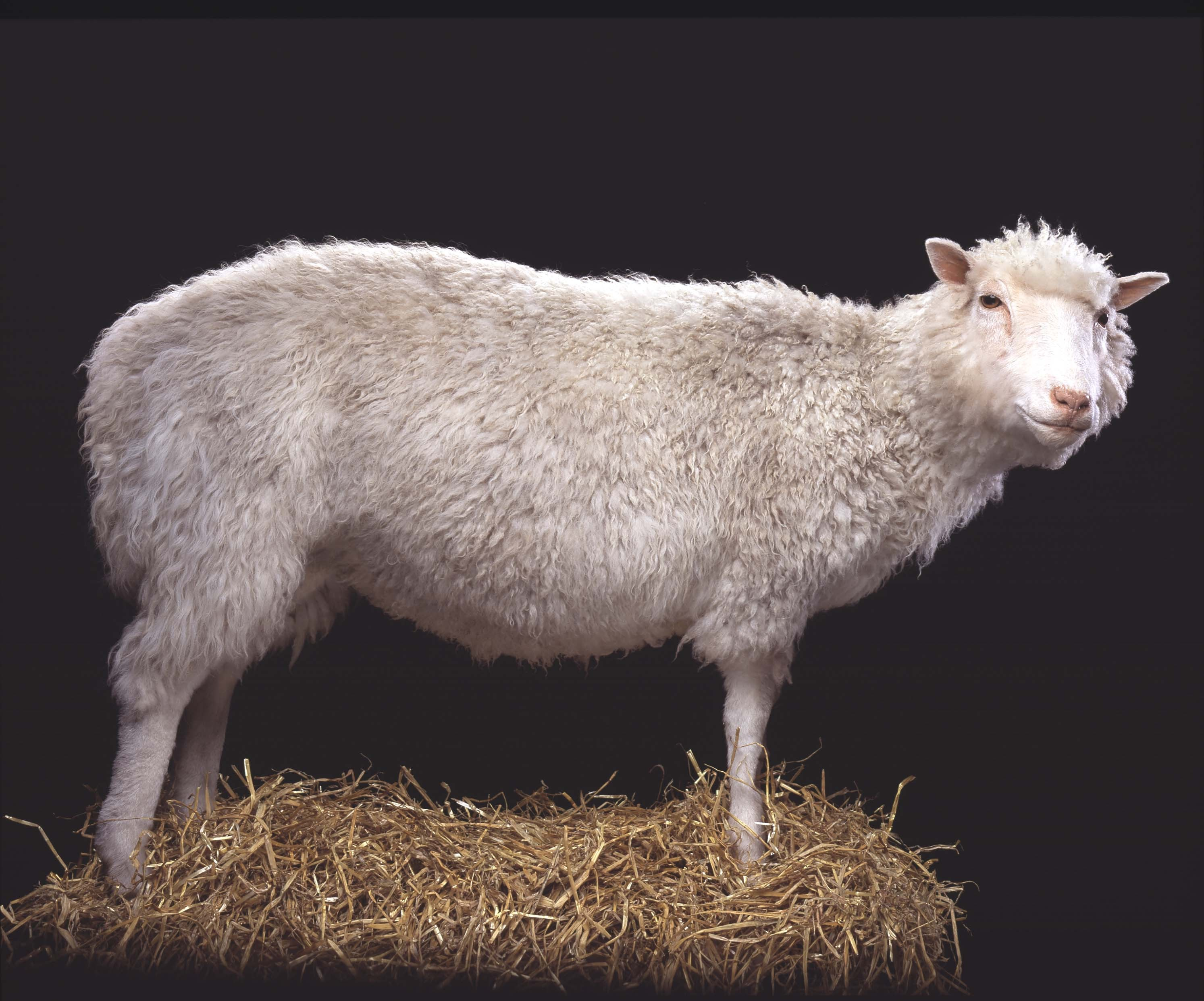 the cloning of dolly sheep What happened in the life of dolly, the famous cloned sheep from scotland read on to find out the short-lived history of this famous sheep.