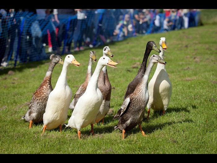 Watching the nifty manoeuvres of the Indian Running Ducks © Ruth Armstrong Photography