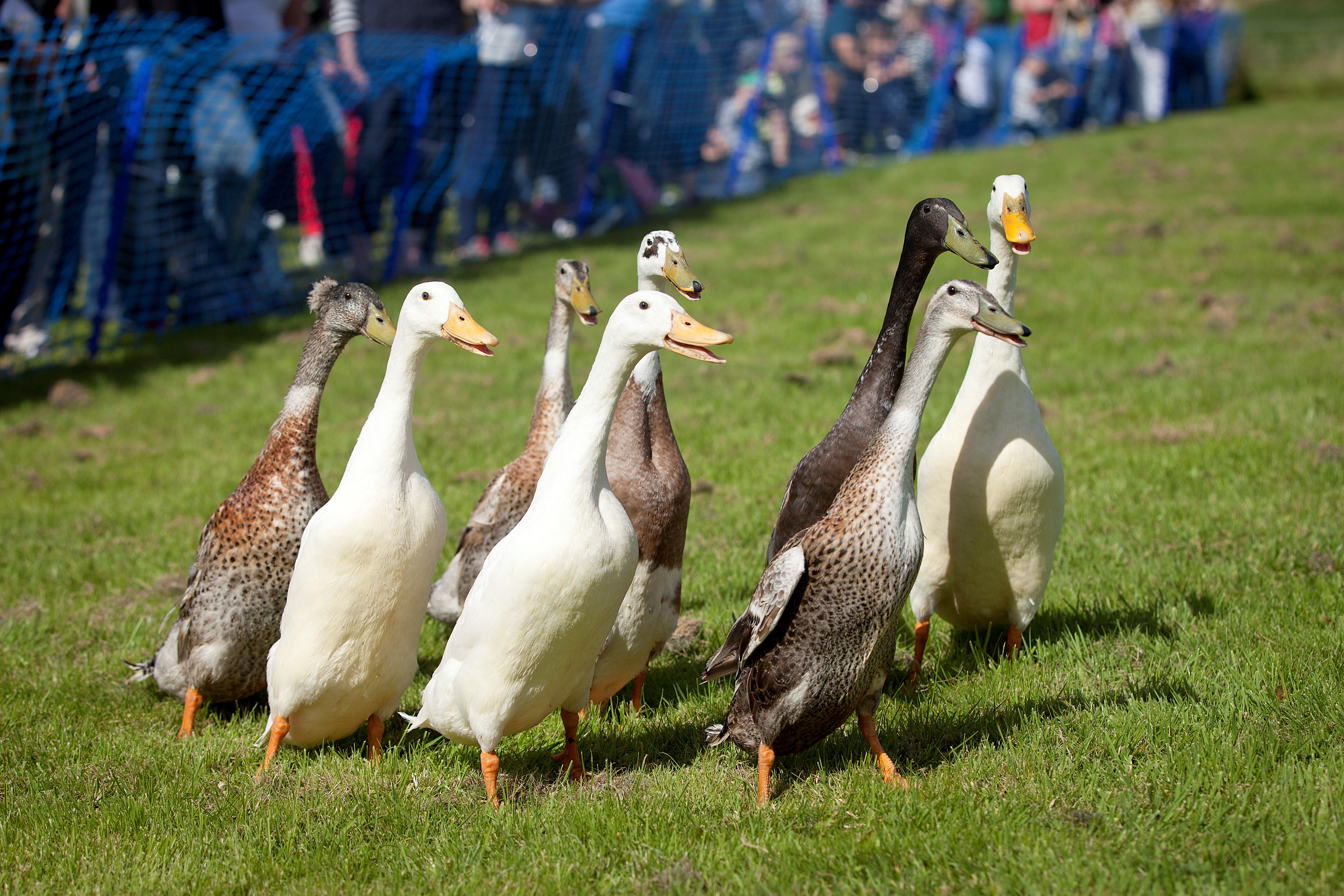 Watch the nifty manoeuvres of Indian Running ducks the Dog and Duck Show © Ruth Armstrong.